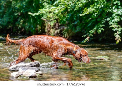 Beautiful Irish setter rummaging in the creek. A well-trained hunting dog searches the reeds, drives the waterfowl in front of the shotgun and hollows the prey out of the water after it is shot.