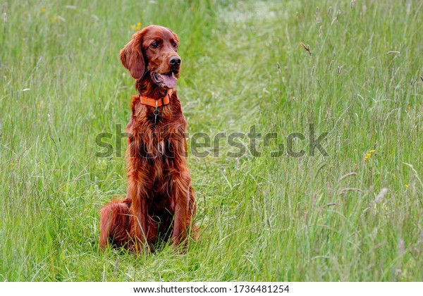 A beautiful Irish Setter sits in the lane of a tractor in the tall grass of the spring meadow.