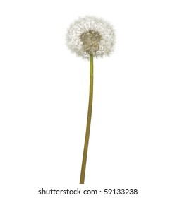 Beautiful isolated dandelion over white background. Nature