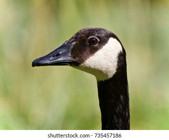 Beautiful isolated image of a Canada goose looking
