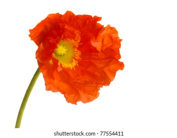 Beautiful Isolated orange Poppy on white
