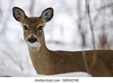 Beautiful isolated photo with a wild deer in the snowy forest