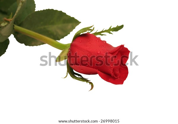beautiful isolated red rose flower, isolated on white background, ideal for natural,health or season designs.