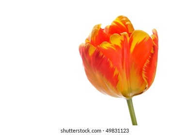 Beautiful isolated red tulip over white background
