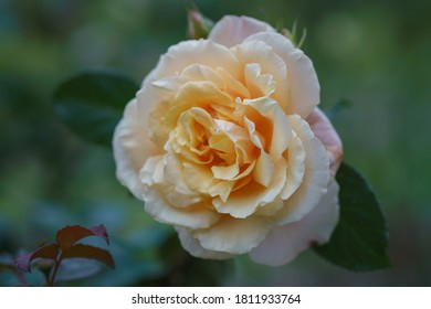 Beautiful ivory rose flower in the garden. Caramel rose flower