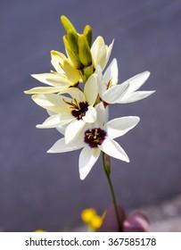 beautiful ixia flower in garden japan