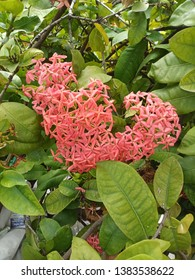 beautiful Ixora plant colorful garden flower