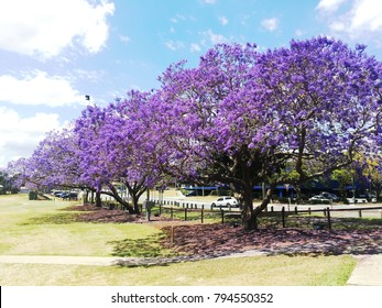 Beautiful Jacaranda Trees Blooming Full in Ipswich Queensland Australia, A Sky Full Of Purple