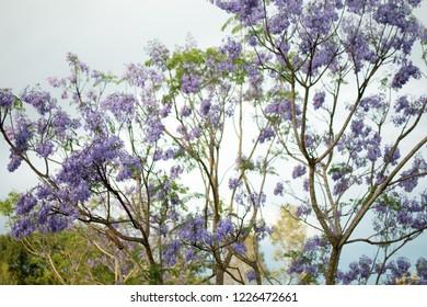 Beautiful Jacaranda trees. Depth of field view.