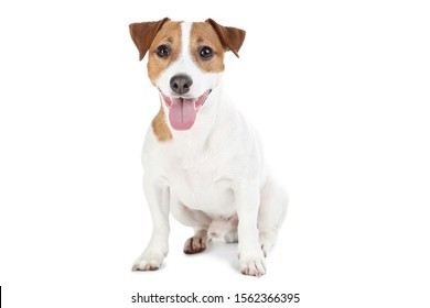 Beautiful Jack Russell Terrier dog isolated on white background
