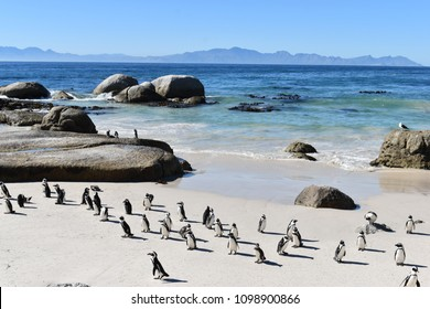 Beautiful Jackass penguins on blue Boulders Beach in Cape Town in South Africa
