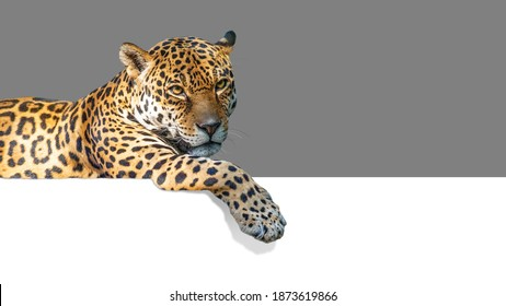 Beautiful jaguar cat hanging paw over white web banner. Isolated with 50% grey background for easy overlay.