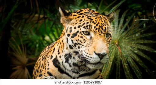 Beautiful Jaguar cat (Panthera Onca) in close up