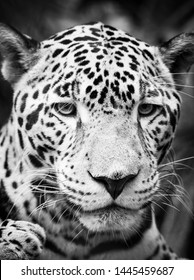 Beautiful Jaguar cat (Panthera Onca) in close up portrait in stunning black and white