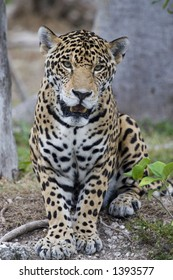 Beautiful jaguar looking right at you