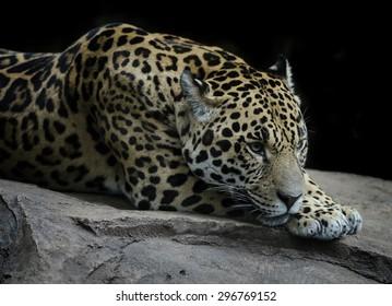 Beautiful Jaguar resting