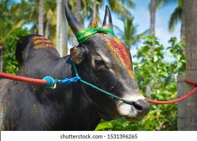 jallikattu images stock photos vectors shutterstock https www shutterstock com image photo beautiful jallikattu kangayam cattle bull on 1531396265