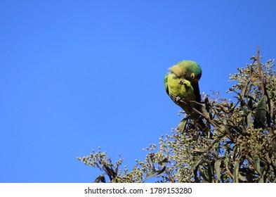 Beautiful Jandaia parakeet on a tree branch on a day with a beautiful blue sky!(aratinga auricapillus/ golden capped parakeet)
