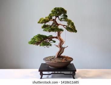 Beautiful Japanese bonsai for show