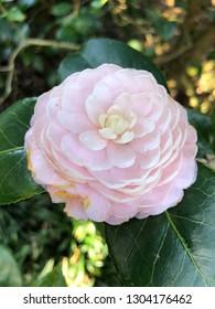 Beautiful Japanese camellia