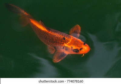 Beautiful Japanese Koi Fish
