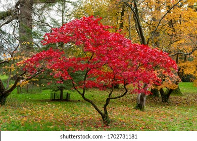 Beautiful Japanese Maple Tree with Red Leaves