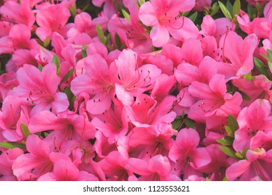 Beautiful Japanese pink Azalea flowers cut into a dense shrubbery. Full in bloom in may, springtime. Background full of flowers.