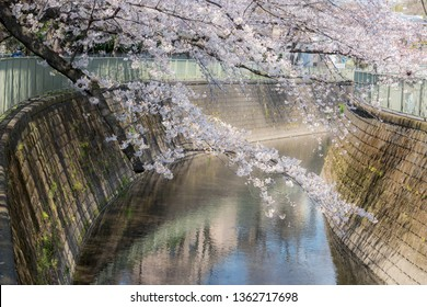 Beautiful Japanese Sakura Cherry blossom trees during spring in Tokyo.