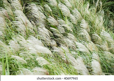 Beautiful Japanese silvergrass (Miscanthus floridulus)