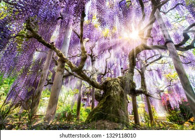 Beautiful Japanese Wisteria in full bloom, Ashikaga flower park, Tochigi Prefecture, Japan
