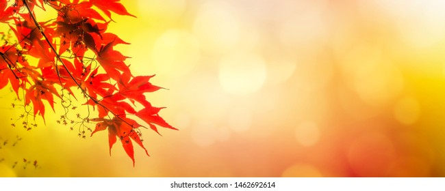 beautiful japnese maple on abtract background