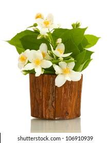 beautiful jasmine flowers in flowerpot isolated on white