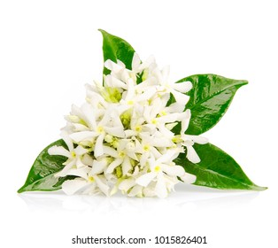 Beautiful Jasmine flowers isolated on white background