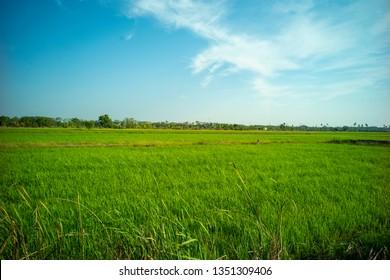 beautiful jasmine rice field