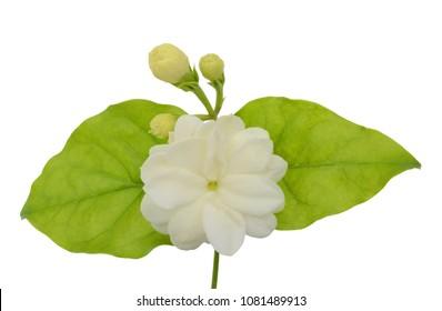 beautiful Jasminum sambac flower (sampaguita, melati putih ) isolated on white background