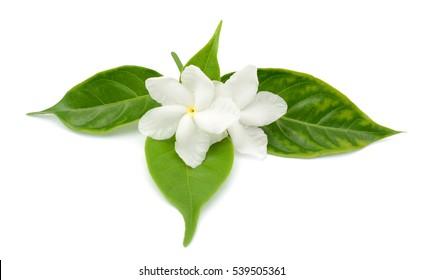 beautiful Jasminum sambac flowers isolated on white background
