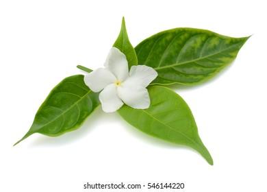 beautiful Jasminum sambac (sampaguita, melati putih ) flower isolated on white background