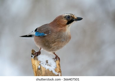a beautiful Jay in the winter sitting on a branch