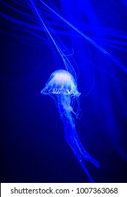 Beautiful jellyfish, medusa in the neon light with the fishes. Underwater life in ocean jellyfish.