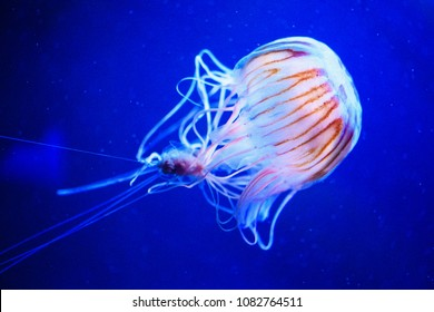 Beautiful jellyfish, medusa in the neon light with the fishes. Underwater life in ocean jellyfish. exciting and cosmic sight