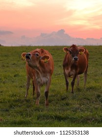 Beautiful Jersey Cows against a soft summer sunset.