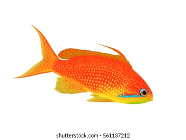 A beautiful Jewel Fairy basslet (Pseudanthias squamipinnis) illustrated by Steven Russell Smith isolated on a white background.