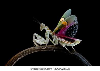 Beautiful The jewelled flower mantis defense position on black background, The jewelled flower mantis closeup