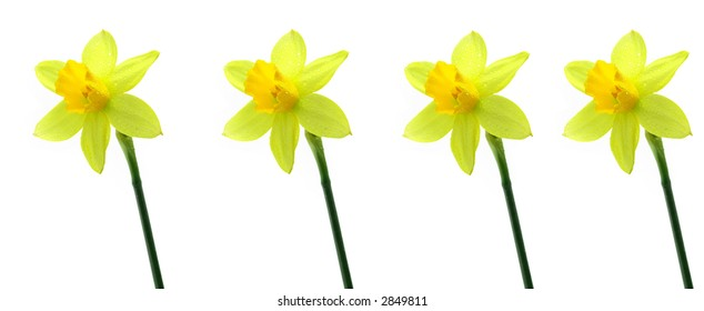 Beautiful jonquils on a white background. See other photos of jonquils in my portfolio