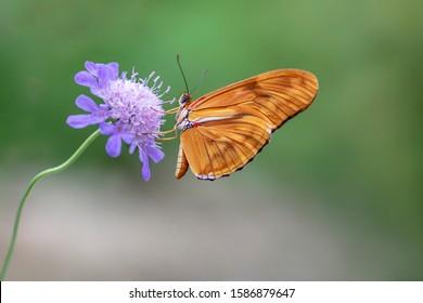 Beautiful Julia butterfly, Julia heliconian, the flame, or flambeau (Dryas iulia) feeding on blue flower (Scabiosa caucasia) in a Summer garden. Blurry background. Precious orange Tropical butterfly.