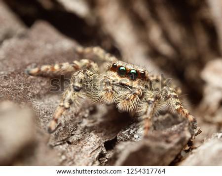 beautiful-jumping-spider-marpissa-muscos