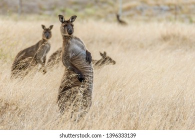 Beautiful kangaroo takes on a strange position and a funny expression, Kangaroo Island, Southern Australia