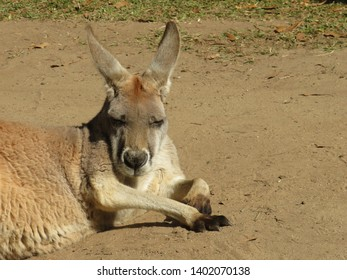 Beautiful Kangaroos, part of Australia's wonderful wildlife