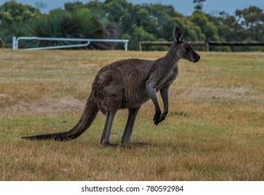Beautiful kangaroos in the wild
