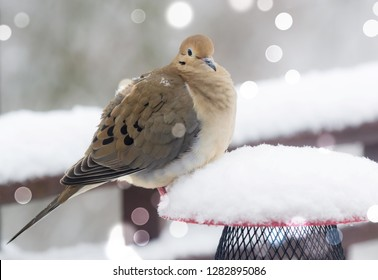 Beautiful Kentucky Mourning dove in the morning snow with round bokeh lights all around, urban wildlife photography